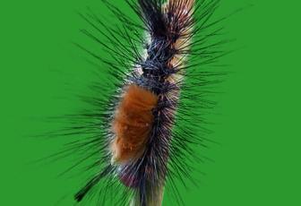 用PS抽出滤镜对毛毛虫图片抠图换背景